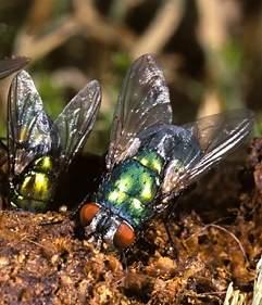 groen-blauwelvlieg