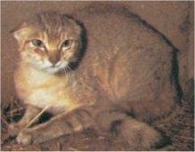afrikaanse kat