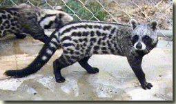 afrikaanse civetkat