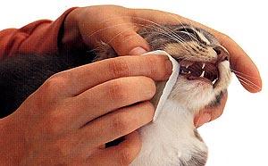 poetsinstructie van het gebit bij de kat