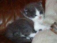 Naar: De jonge kat (kitten)