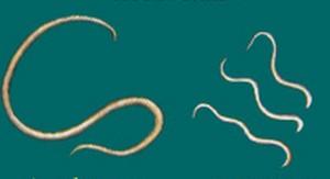 Wormen, haakworm