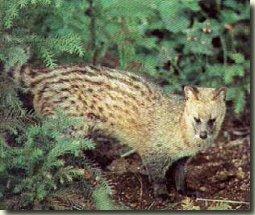 indische civetkat
