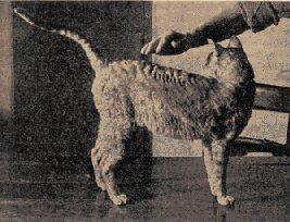 Kallibunker, de eerste Cornish Rex, 1950.