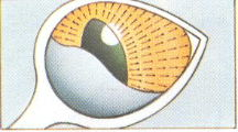 Het derde ooglid (knipvlies)