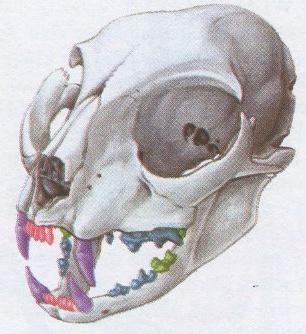Het gebit hoektanden