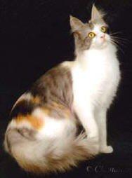 turkse-angora