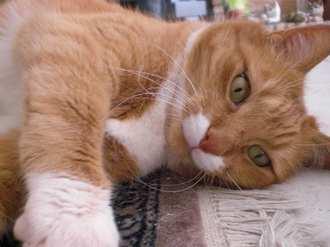 Naar: Homeopathie, hulp bij Nierproblemen katten