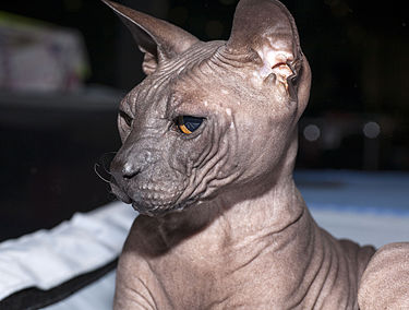Don Sfinx Sphynx