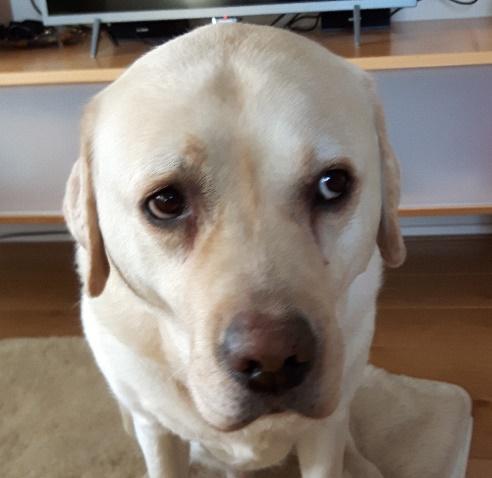 Labrador-Youp