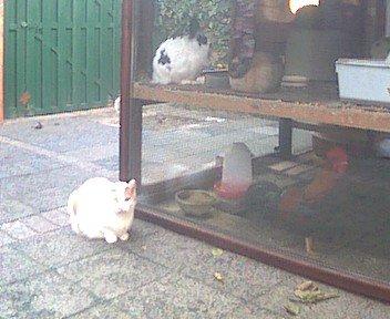 Langoren, gekleurde kip en Sjors