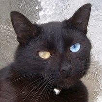 Odd_Eyed_zwarte_kat