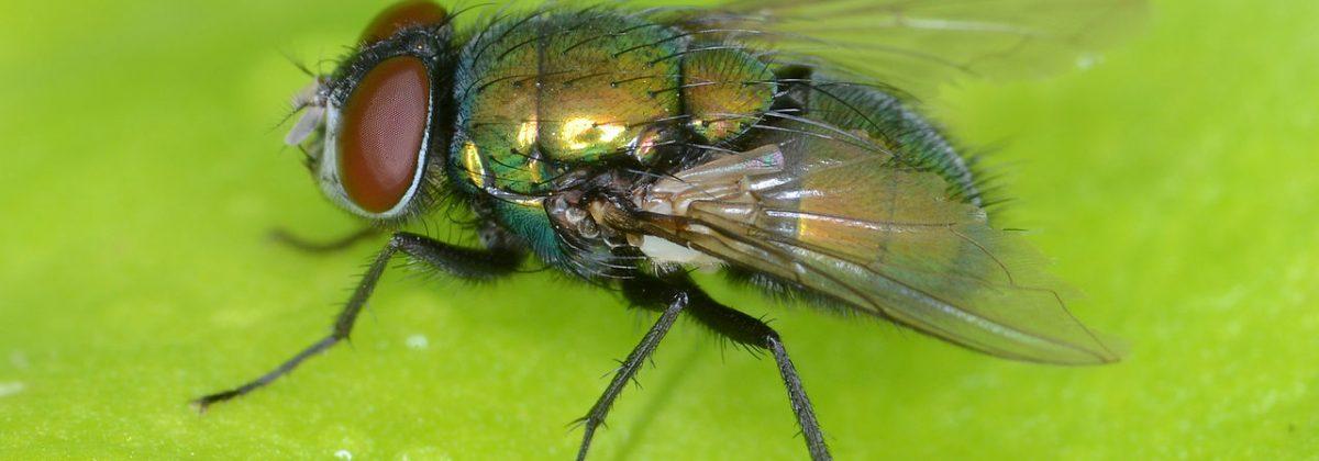 Groene-aasvlieg