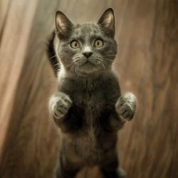 weetjes-grijs-kitten-op-vloer