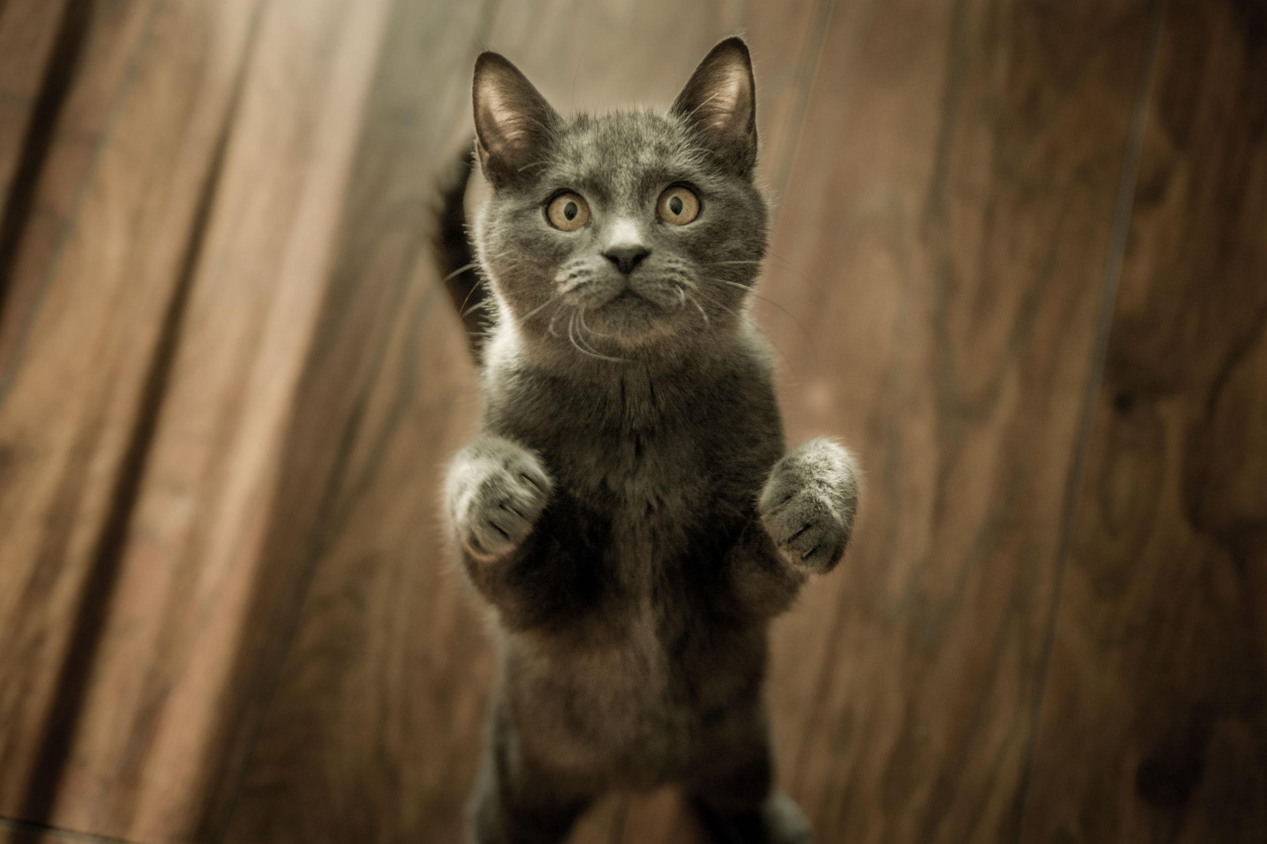 grijs-kitten-op-vloer