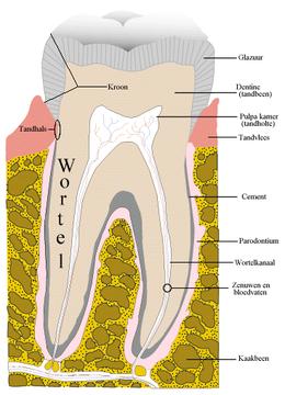 De tandpulpa (ook nog tandmerg genoemd) is het weefsel in de tandholte of pulpakamer, het binnenste van de tand.