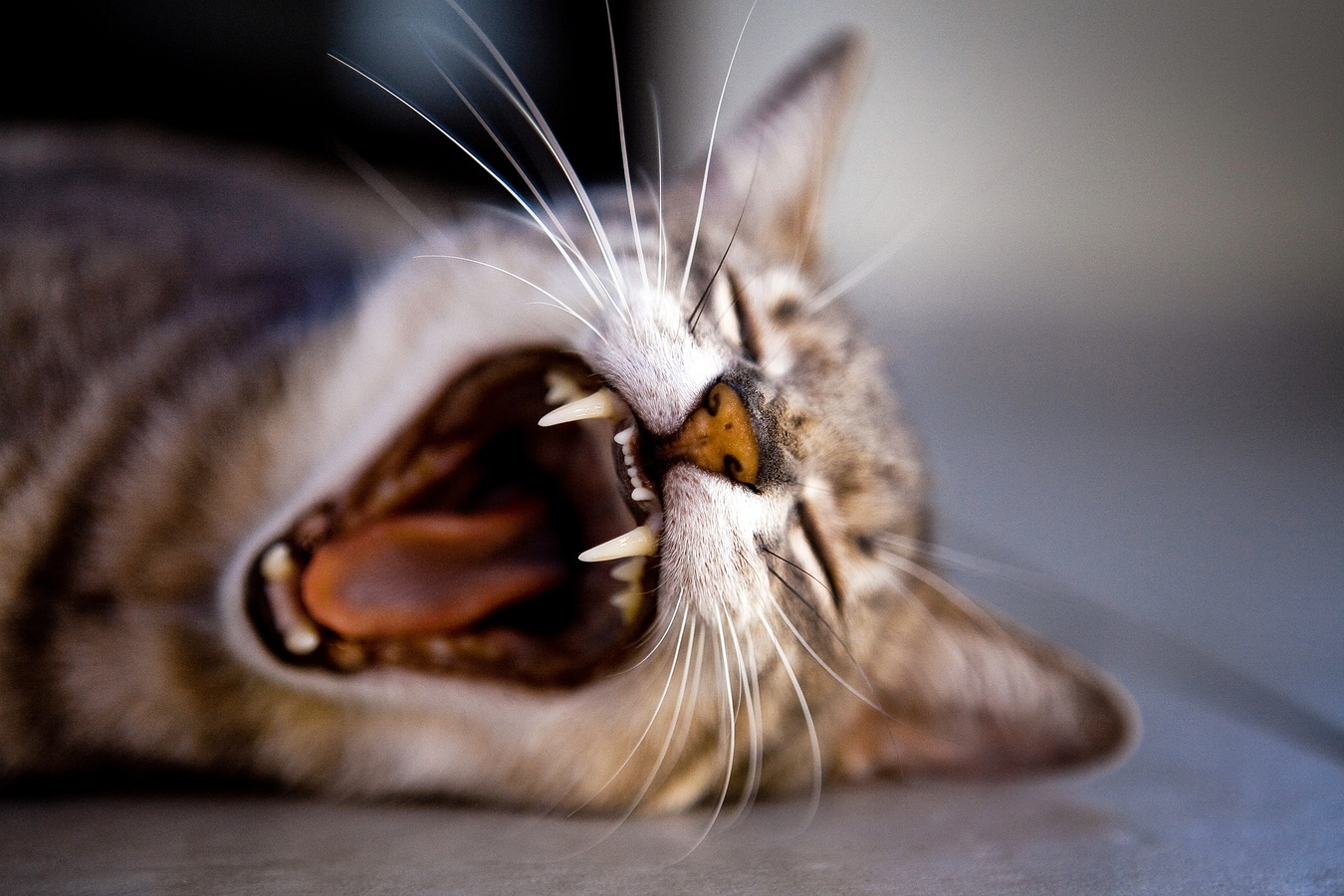 Gebit van de kat hoektanden