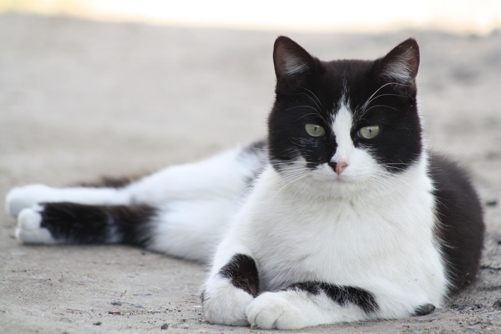 zwart-witte kat met mooie vacht