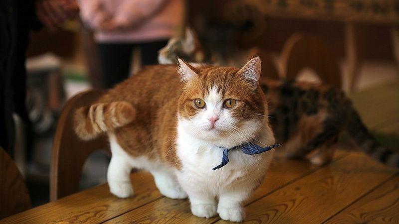 munchkin kat