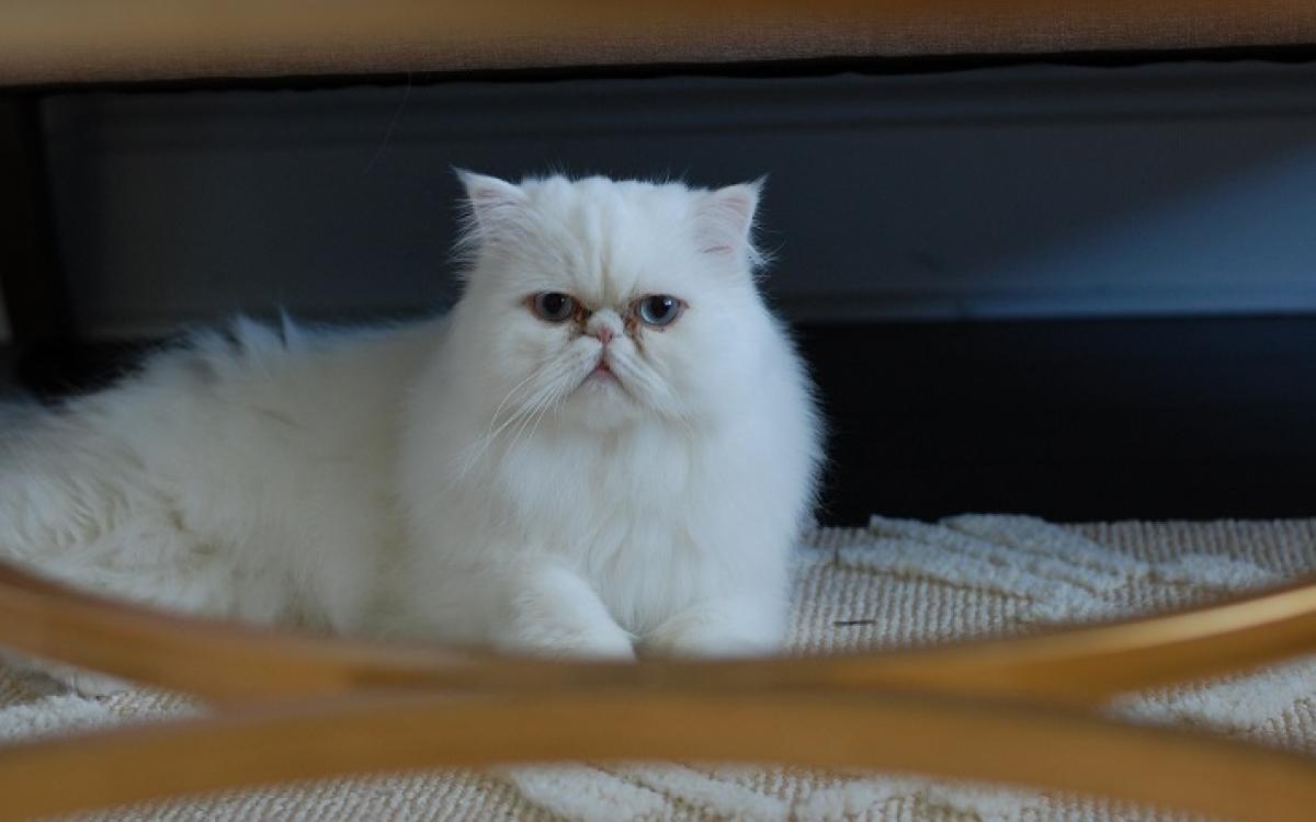 Perzische kat
