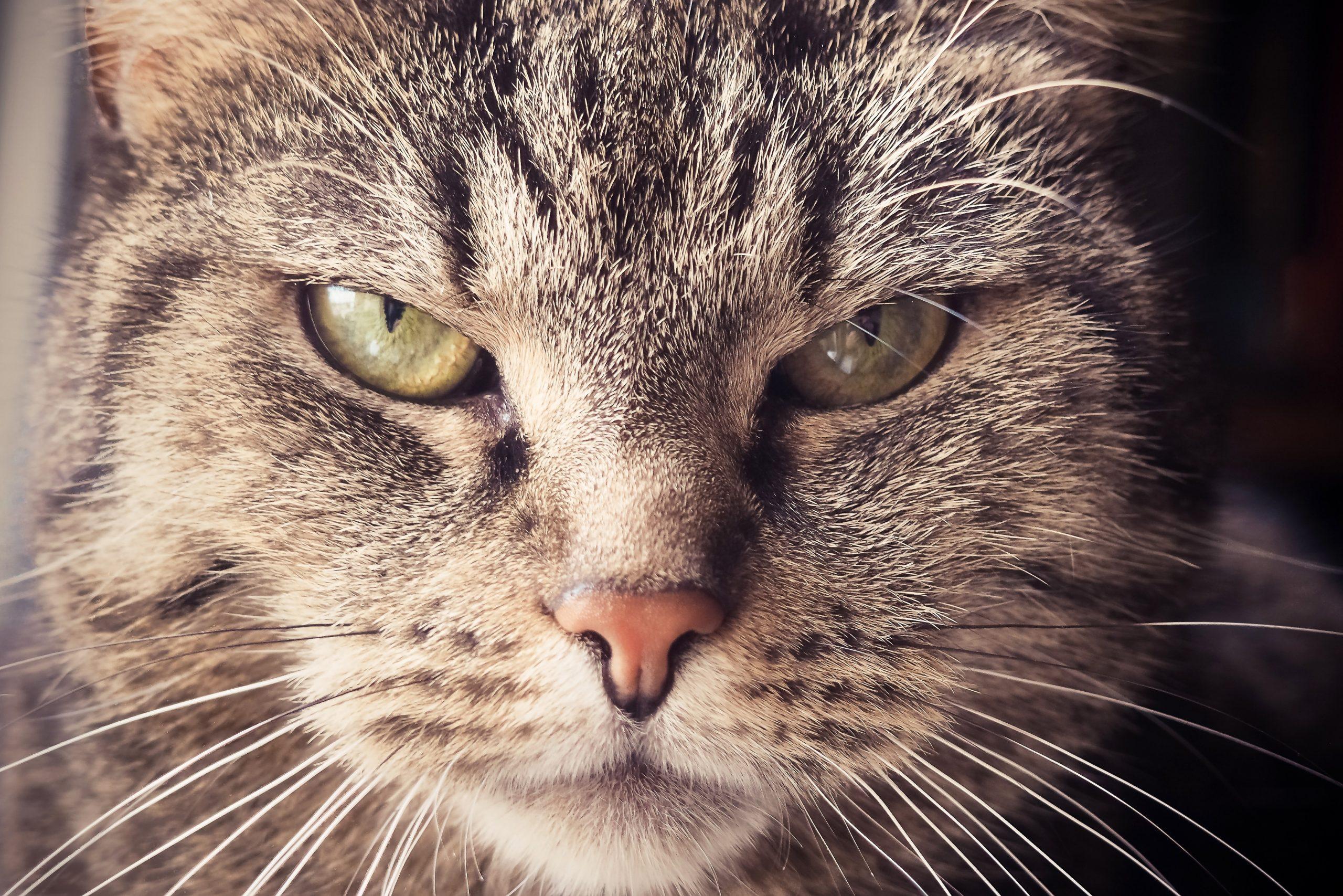 oude kat